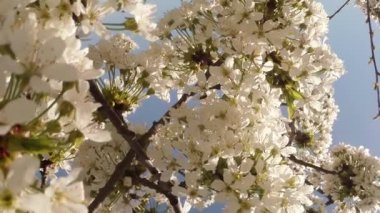 Blossoming fruit trees, cherry and flying bees around the flowers the sun through the cherry flowers blue sky through the cherry flowers — Stock Video