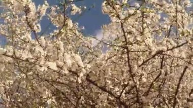 Blossoming fruit trees, cherry and flying bees around the flowers the sun through the cherry flowers blue sky through the cherry flowers — ストックビデオ