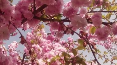 Sakura, lovely pink spring flower — Stock Video