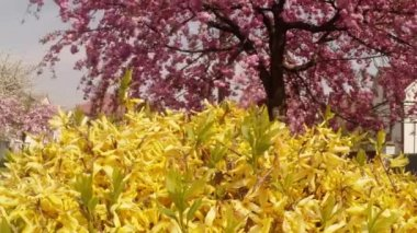 Yellow flowers close up flowering yellow bushes — Vídeo de Stock