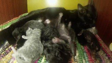 Black cat milk feeding six newborn kittens close-up shooting, little kittens drinking milk from the mother's nipples cats — Stock Video