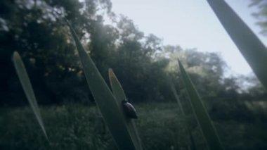 Marsh snail on cattail marsh in the woods Morning — Stock Video