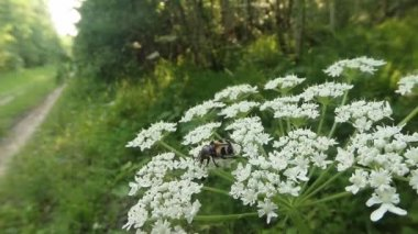 Brown-spotted beetle creeps on small white flowers and eating the petals — Stock Video