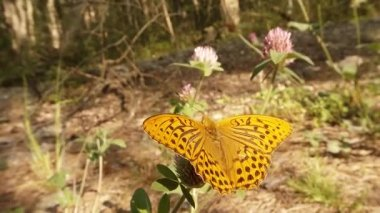 Spotty brown butterfly in the sun on a pink clover in the woods close-up — Stock Video