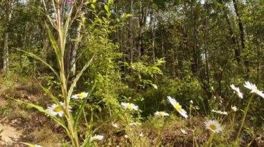 Green summer forest in eastern Siberia near Lake Baikal, birch and cedar — Stock Video