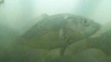Many small carp in muddy water mountain lake view from the bottom to feed — Stock Video