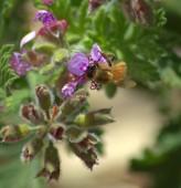 Abeja recolectando polen — Foto de Stock