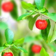 Red ripe cherries on tree branch in the garden — Stock Photo #57586509