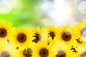 Beautiful sunflower and light reflect in morning — Stock Photo