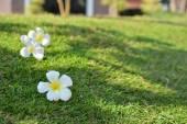 Lumeriaon трава — Стоковое фото