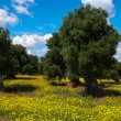 Olive trees and yellow flowers 3 — Stock Photo #56850715