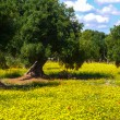 Olive trees and yellow flowers 1 — Stock Photo #56850809