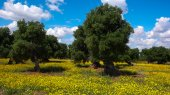Olive trees and yellow flowers 3 — Stock Photo