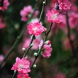 Blooming tree in spring with pink flowers — Stock Photo #57051633