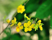 Yellow mickey mouse plant — Stock Photo