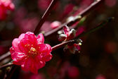 Blooming tree in spring with pink flowers — Stock Photo
