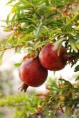 Granatäpfel — Stock Photo