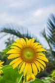 Beautiful yellow sunflowers — Stock Photo