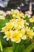 Beautiful yellow plumeria — Stock Photo