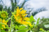 Growing sunflowers — Stock Photo