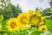 Sunflowers in plantations. — Stock Photo
