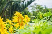 Sunflowers planted inside. — Stock Photo