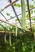 The long zucchini  — Stock Photo