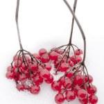 ������, ������: Viburnum berries clusters on white snow