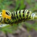 Caterpillar on grass sheet — Stock Photo #59272193