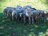 Sheeps — ストック写真