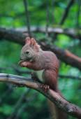 Eurasian red squirrel in forest reserve Krasnoyarsk pillars — Foto Stock