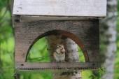Eurasian red squirrel in forest reserve Krasnoyarsk pillars — Stok fotoğraf
