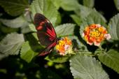 Heliconius Melpomene on flower — Stock Photo