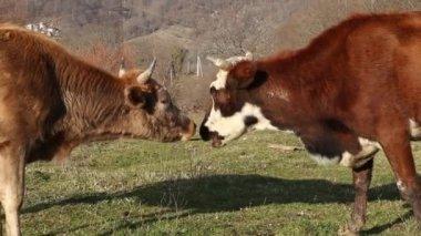 Cows walking in the field — Stock Video