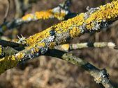 Branch covered with lichen — Stock Photo
