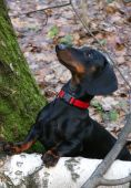 Dachshund in autumn forest — Zdjęcie stockowe