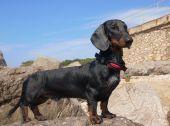 Dachshund puppy, 9 months old,  on stone — Stock Photo