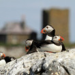 Puffin with National trust buildings — Stock Photo #56585369