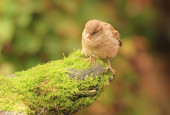 Young Sparrow on moss — Stock Photo