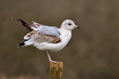 Black headed gull on post — Stock Photo