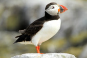 Puffin on a rock — Stock Photo
