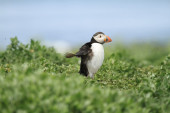Puffin running and flapping its wings — Stock Photo