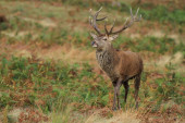 Red deer stag bllowing — Stock Photo