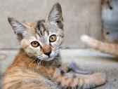 Adorable meowing tabby thai kitten. — Stock Photo