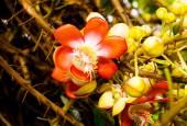Beautiful tropical cannon ball tree (Couroupita guianensis) — Foto Stock