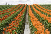 Red and Orange Tulip Rows — Stock Photo