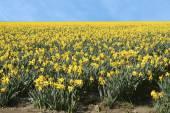 Narcis pole — Stock fotografie