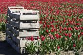 Pola tulipanów — Zdjęcie stockowe