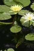 Two water lillies — Zdjęcie stockowe