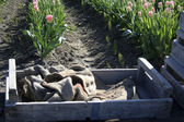 Ящик в поле тюльпанов — Стоковое фото